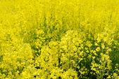 Flores de colza — Foto de Stock