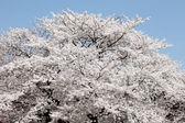Big cherry blossom tree — Stock Photo