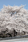Big cherry blossom tree — Stockfoto
