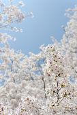 Blooming cherry tree — Stock Photo