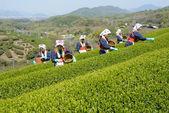 Japanese women harvesting tea leaves — Stock Photo