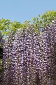 Purple wisteria flowers — Stock Photo