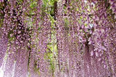 Wisteria trellis — Stock Photo