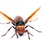 Big hornet — Stock Photo #48751471
