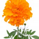Orange marigold flower — Stock Photo #50379931