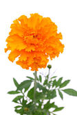 Orange marigold flower — Stock Photo
