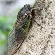 Cicada holding on a tree — Stock Photo #50515791