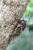 Cicada holding on a tree — Stock Photo