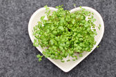 Salad mustard cress — Stock Photo