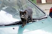 Kat op de groene auto — Stockfoto