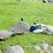 Three peacocks - Foto Stock