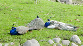 Three peacocks — Stock Photo