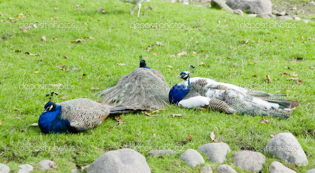 Three peackocks lay on the ground in the nature — Stock Photo #13133355