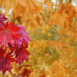 Royalty-Free Stock Photo: Maple leaves in autumn.