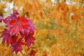 Maple leaves in autumn. — Stock Photo