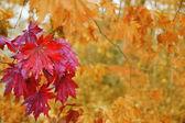 Hojas de arce en otoño. — Foto de Stock