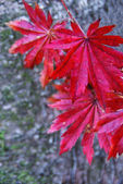 Red leaves on a gray background. — Stock Photo