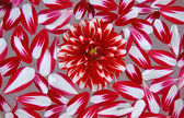 The background of the red petals. — Stock Photo