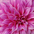 Royalty-Free Stock Photo: Bright pink Dahlia.