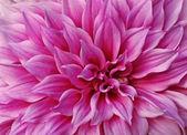 Bright pink Dahlia. — Stock Photo