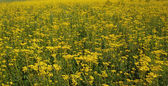 Field of yellow flowers. — Stock Photo