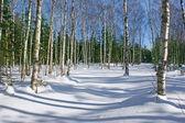 Forêt de bouleaux sous la neige. — Photo