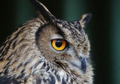 The head of the owl with yellow eyes. — Stock Photo