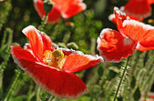 Bright red poppies in the wind. — Stock Photo