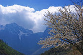 Flowering cherry on the background of mountains. — Stock Photo