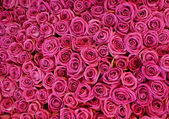 The background of the flowers roses. — Stock Photo