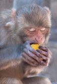 Monkey eats the fruit. — Stock Photo