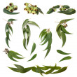 Eucalyptus Leaves Collection — Stock Photo