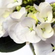 White Lacecape Hydrangea - Stock Photo