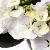 Hortensia blanca lacecape — Foto de Stock
