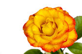 Yellow and Red Rose Isolated — Stock Photo