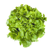 Curly Leaf lettuce Isolated — Stock Photo