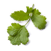 Cilantro or Coriander Isolated — Stock Photo