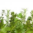 Herb Border over White — Stock Photo