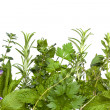 Stock Photo: Herb Border over White