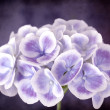 Stock Photo: Purple Hydrangewith Grunge Effects