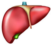 Liver — Stock Vector