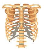 Thorax- ribs, sternum, clavicle, scapula, vertebral column — Stock Vector