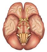Human brains base — Stock Vector