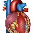 Human heart detailed anatomy, colorful design — Stock Vector #39629421
