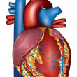 Humheart detailed anatomy, colorful design — Vetorial Stock #39629421