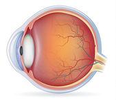 Human eye anatomy — Stock Vector
