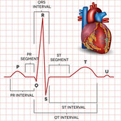 Human heart normal sinus rhythm and heart anatomy — Vetorial Stock