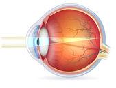 Human eye cross section — Stock Vector