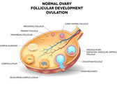 Normal ovary, follicular development and ovulation — Stock Vector