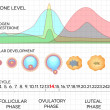 Female menstrual cycle, ovulation process and hormone levels — Vector de stock  #43051935
